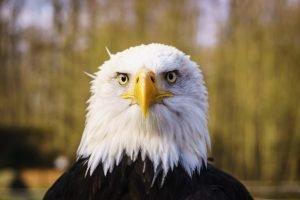 amerikansischer Weißkopfseeadler